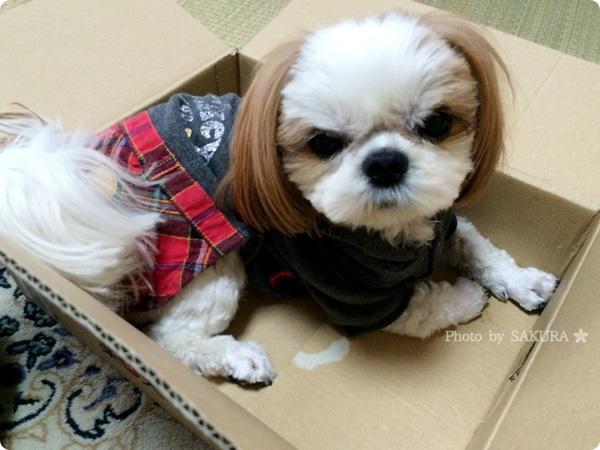 愛犬 シーズー 未来(みく) 出会って2年記念日