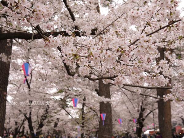 大宮公園 満開の桜