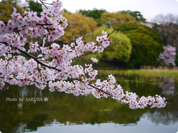 大宮公園 池周辺の満開の桜 その2