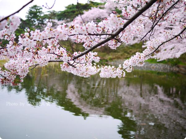 大宮公園 池周辺の満開の桜 その1
