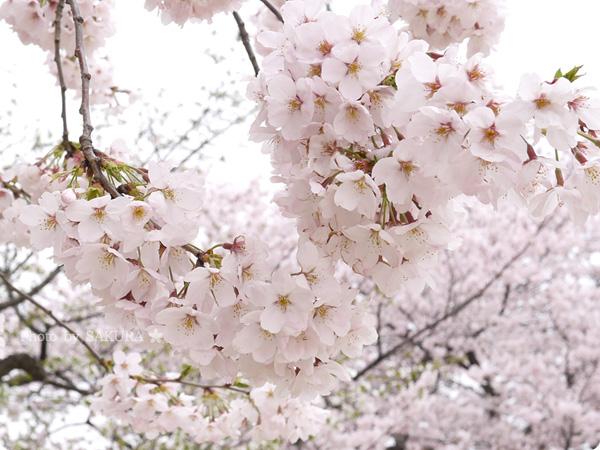2016年4月5日近所の公園の桜 その1