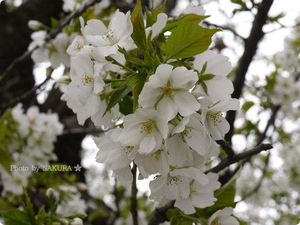 2016年4月5日近所の公園の桜 その3