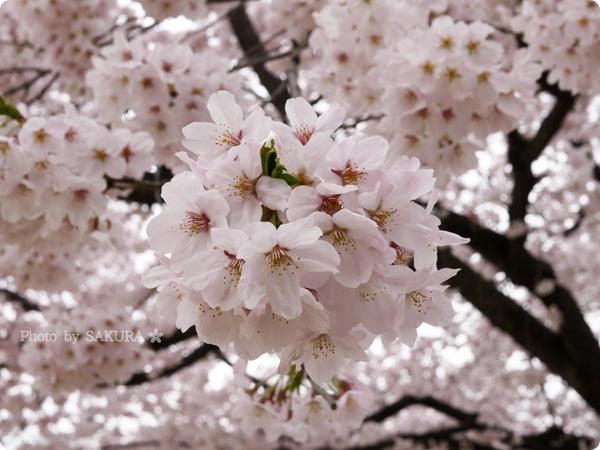 2016年4月5日近所の公園の桜 その2