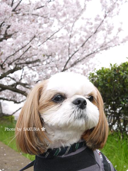 2016年4月5日近所の川沿いの桜と愛犬