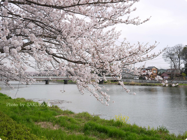2016年4月5日近所の川沿いの桜 その3