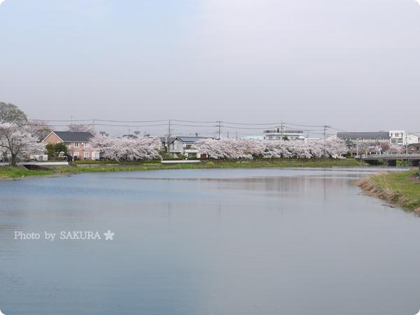 2016年4月5日近所の川沿いの桜 その1