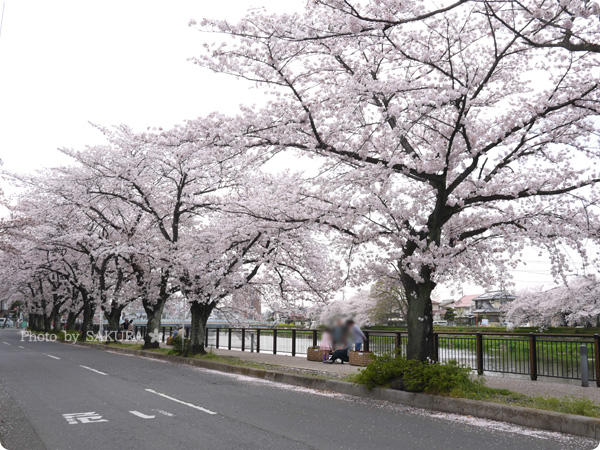 2016年4月5日近所の川沿いの桜 その2