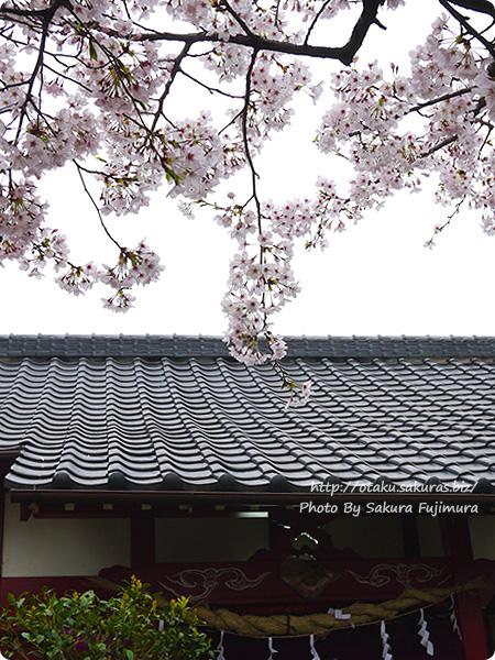 小さい神社に咲いていた桜 ソメイヨシノ その2