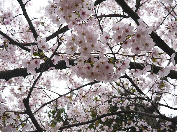 小さい神社に咲いていた桜 ソメイヨシノ その1