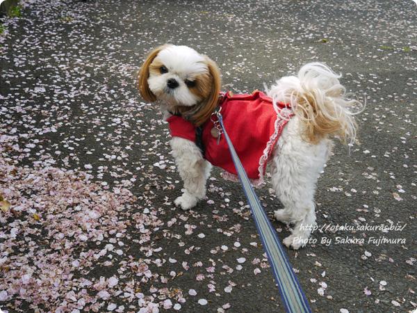 川沿いをお花見散歩2017 愛犬・未来と