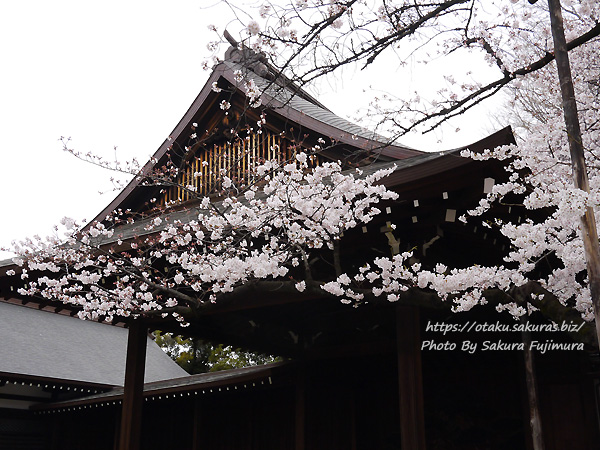 靖国神社 東京管区気象台の桜の標本木 能楽堂付近にある